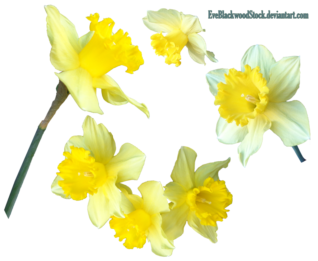 Daffodils 2 Png By Eveblackwoodstock Daffodils 2 Png By Eveblackwoodstock - Daffodils, Transparent background PNG HD thumbnail