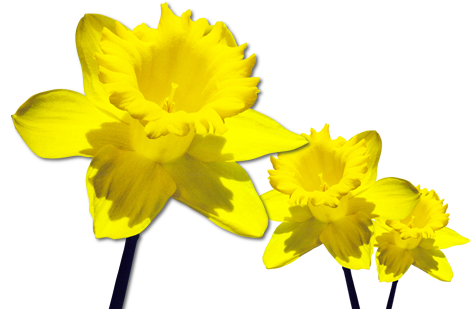 Daffodils Free Download Png Png Image - Daffodils, Transparent background PNG HD thumbnail