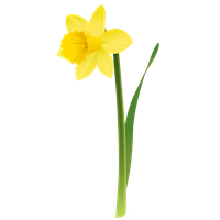 Daffodils Png Picture Png Image - Daffodils, Transparent background PNG HD thumbnail