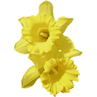 Daffodils Transparent Png Image - Daffodils, Transparent background PNG HD thumbnail