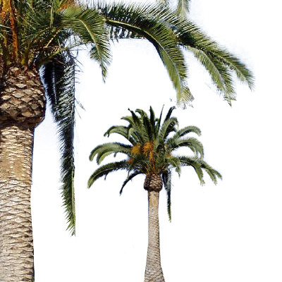 Date Palm Png - Canary Island Date Palm, Transparent background PNG HD thumbnail