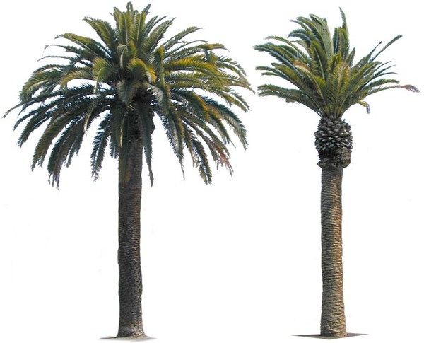 Date Palm Png - Canary Island Date Palm.zip, Transparent background PNG HD thumbnail