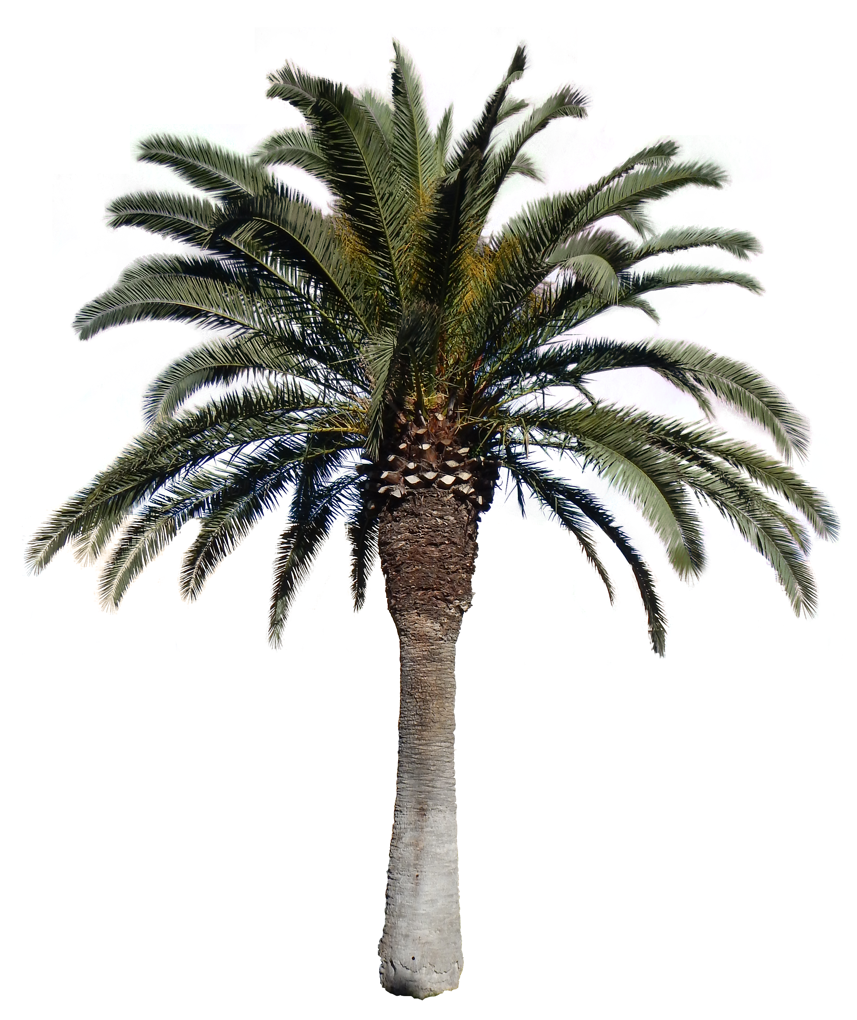 Date Palm Png - Download, Transparent background PNG HD thumbnail
