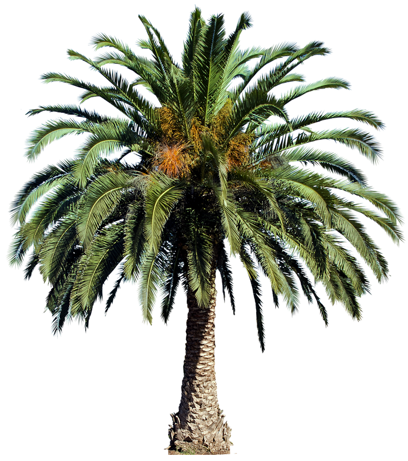 Date Palm Png - Interior Rendering, Landscape Art, Palm Trees, Photoshop, Date Palms, Canary Islands, Plant Pictures, Tropical Plants, Tree Psd, Transparent background PNG HD thumbnail