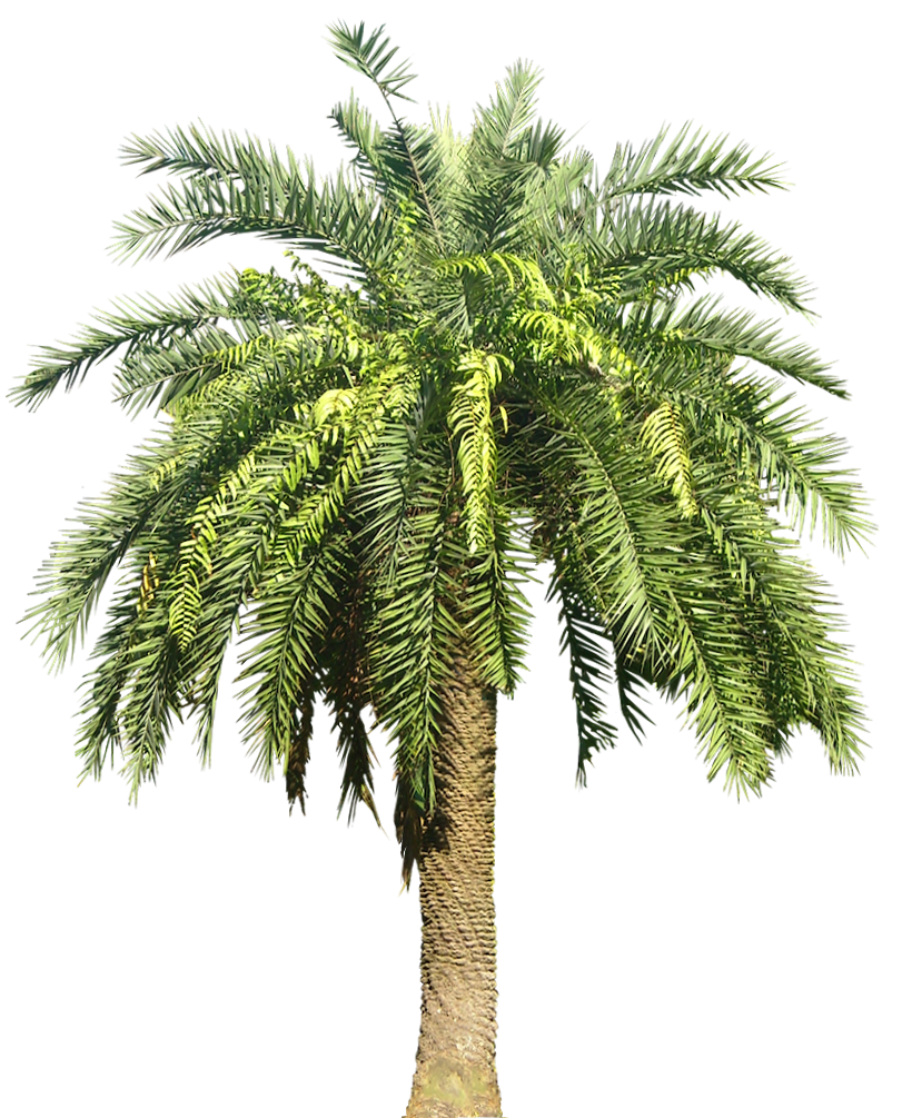 Date Palm Png - Palm Plant Png Image Image #43068, Transparent background PNG HD thumbnail