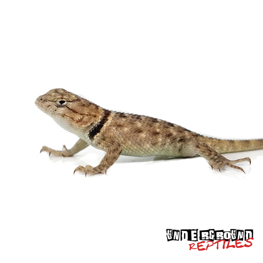 Baby Desert Spiny Lizard For Sale - Desert Lizard, Transparent background PNG HD thumbnail