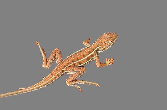 Lizard.png - Desert Lizard, Transparent background PNG HD thumbnail