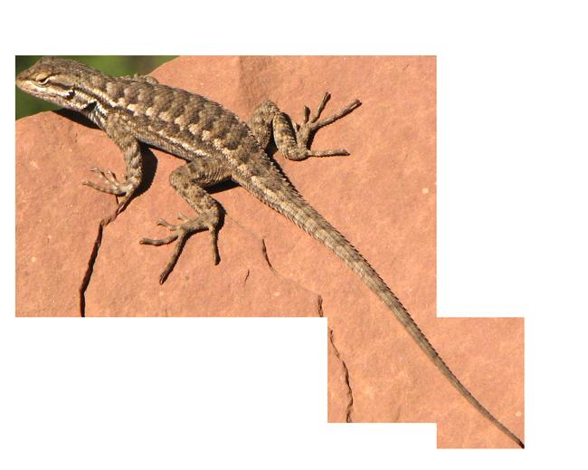Lizard Transparent Png - Desert Lizard, Transparent background PNG HD thumbnail