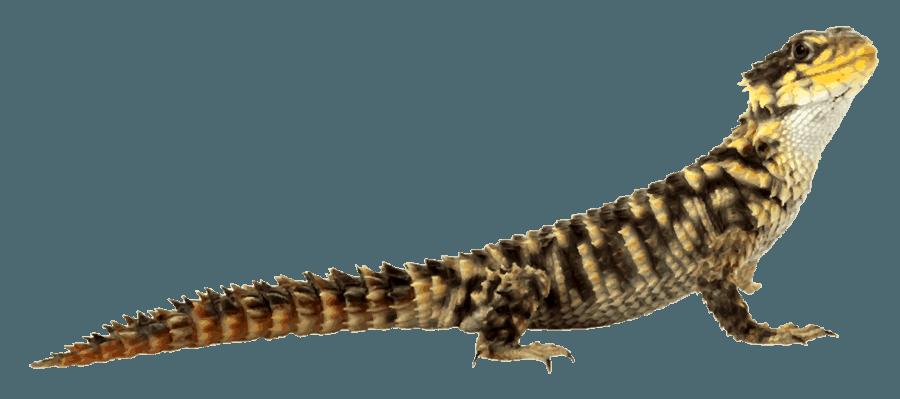 Slide Title - Desert Lizard, Transparent background PNG HD thumbnail