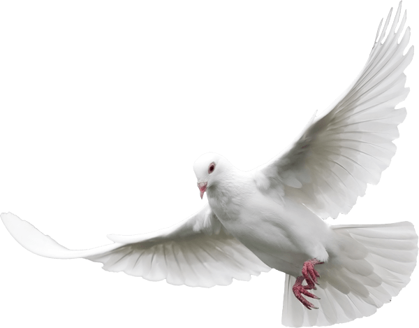 Dove - Pigeon, Transparent background PNG HD thumbnail