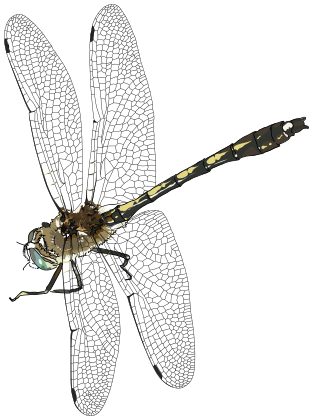 Dragonfly Flying   /animals/bugs/d/dragonfly/dragonfly_2/dragonfly_Flying. Png.html - Dragonfly, Transparent background PNG HD thumbnail