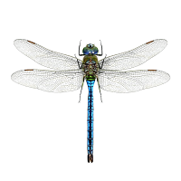 Dragonfly.png Hdpng.com  - Dragonfly, Transparent background PNG HD thumbnail