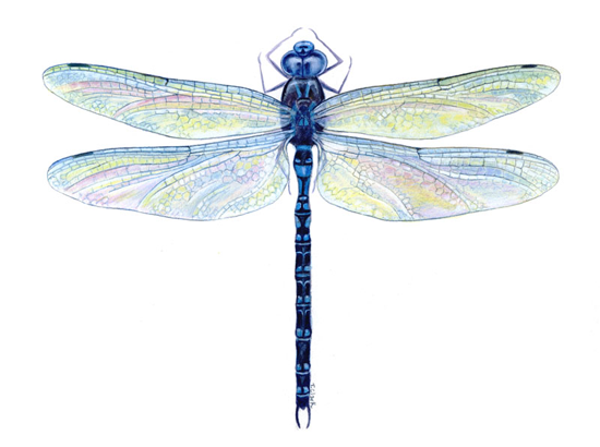 Dragonfly.png (550×410) - Dragonfly, Transparent background PNG HD thumbnail