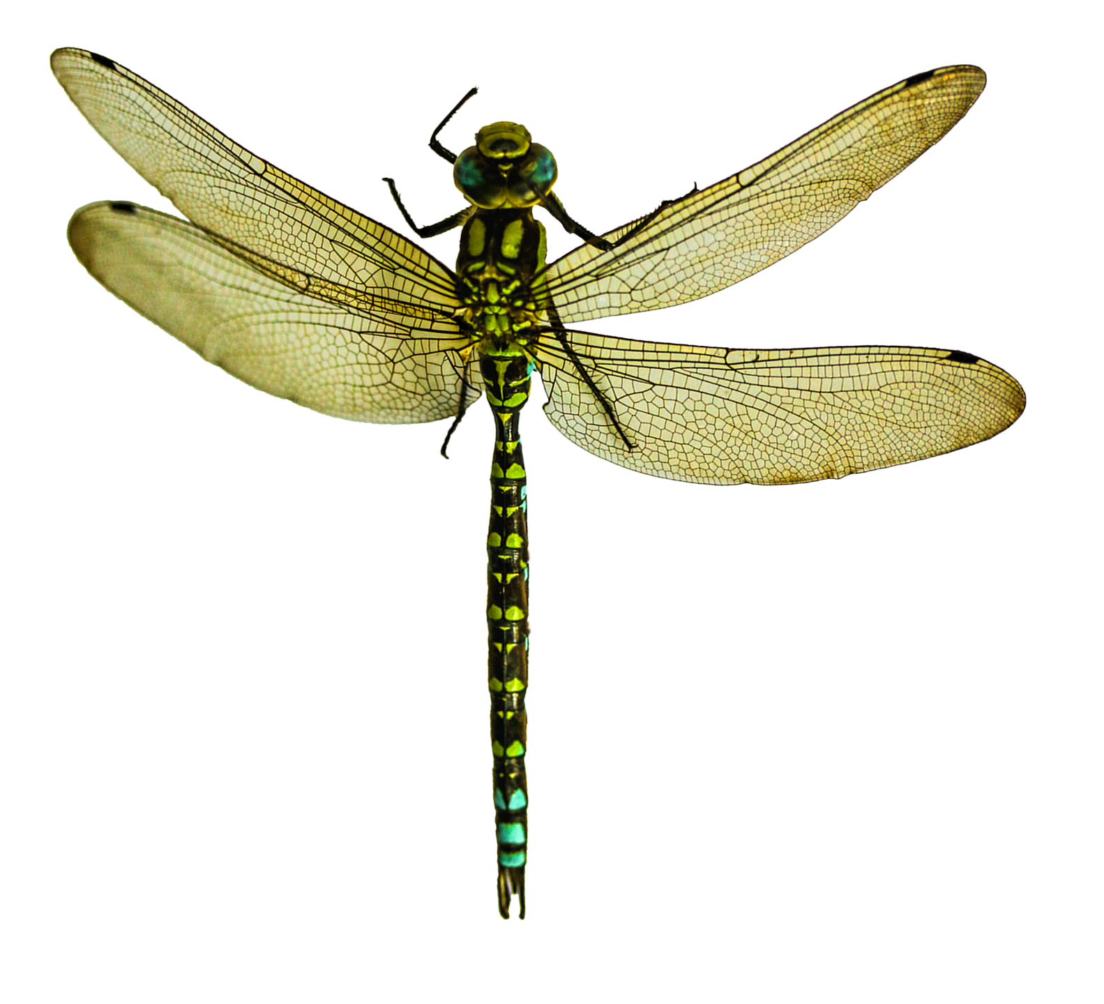 Dragonfly Png Transparent Image - Dragonfly, Transparent background PNG HD thumbnail