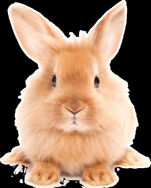 Easter Rabbit Png Hd - Rabbit, Transparent background PNG HD thumbnail