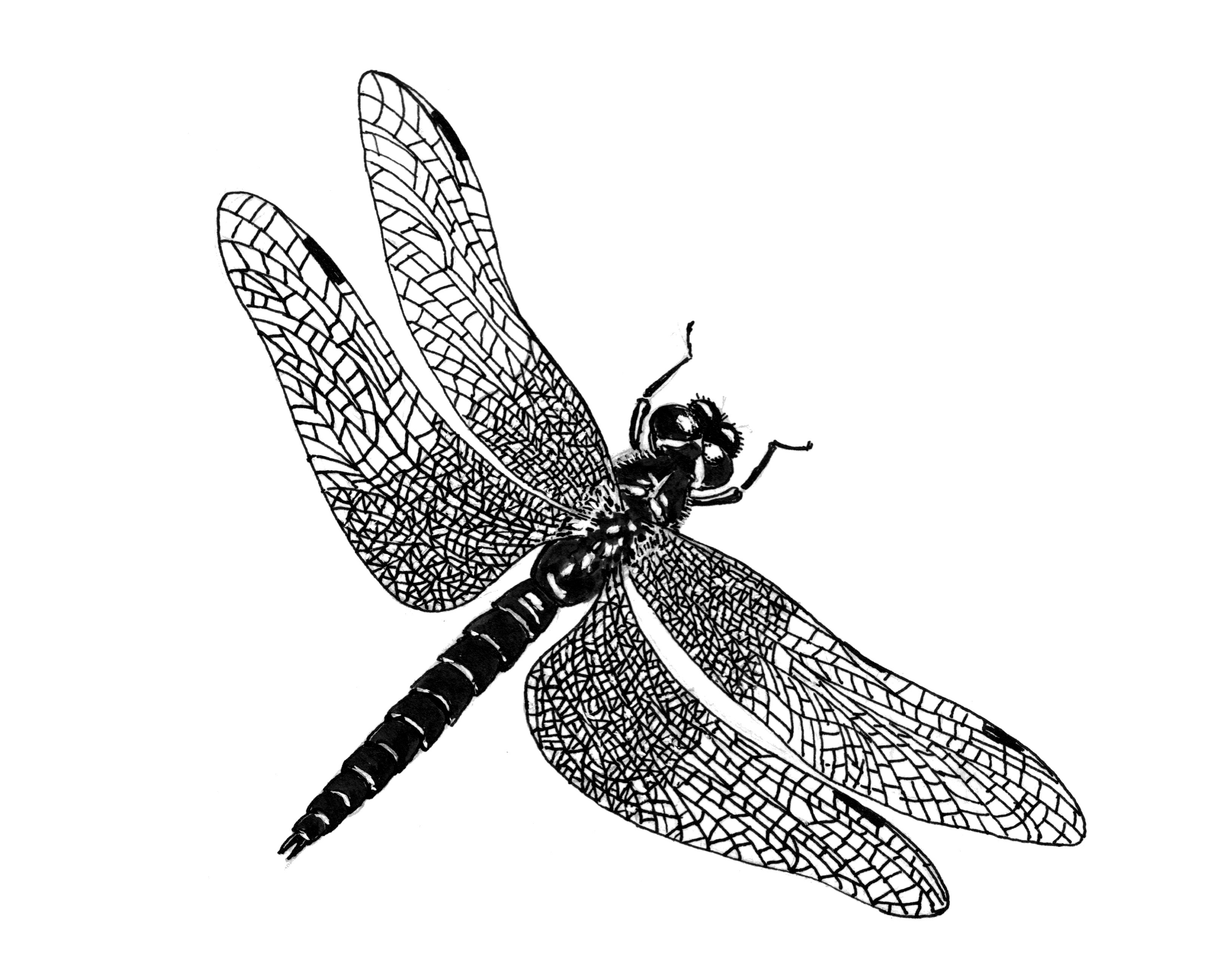 File:dragonfly 3 (Psf).png - Dragonfly, Transparent background PNG HD thumbnail