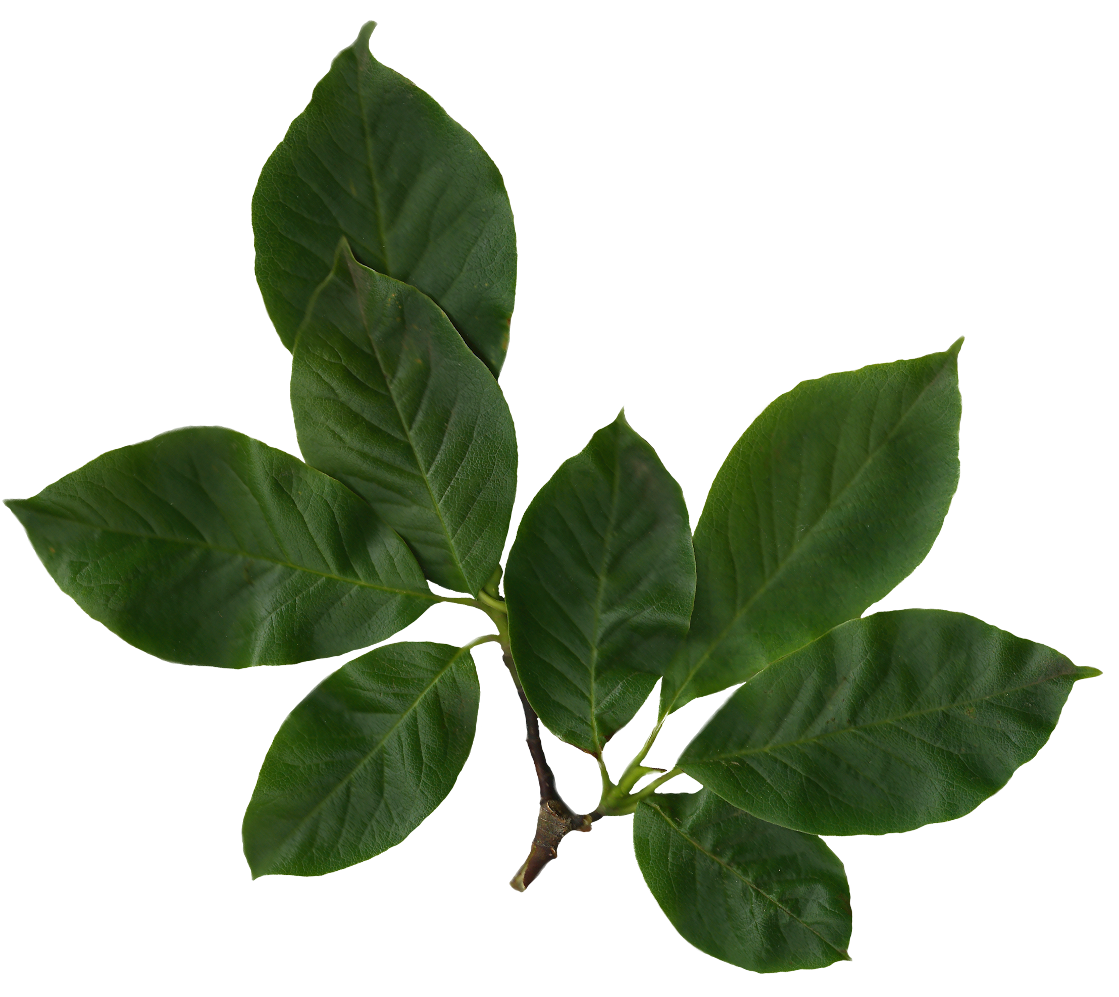 File:magnolia Soulangiana Scanned Leaves.png - Leaves, Transparent background PNG HD thumbnail