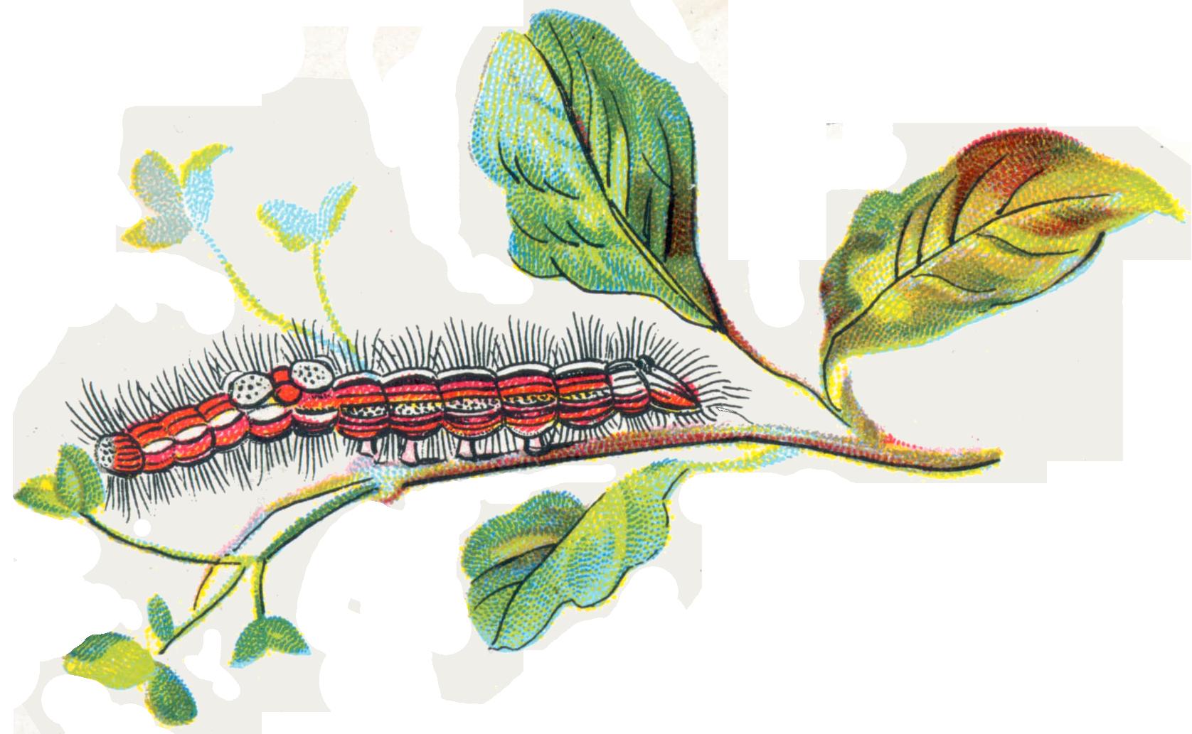 File:porthesia Similis Caterpillar.png - Caterpillar, Transparent background PNG HD thumbnail