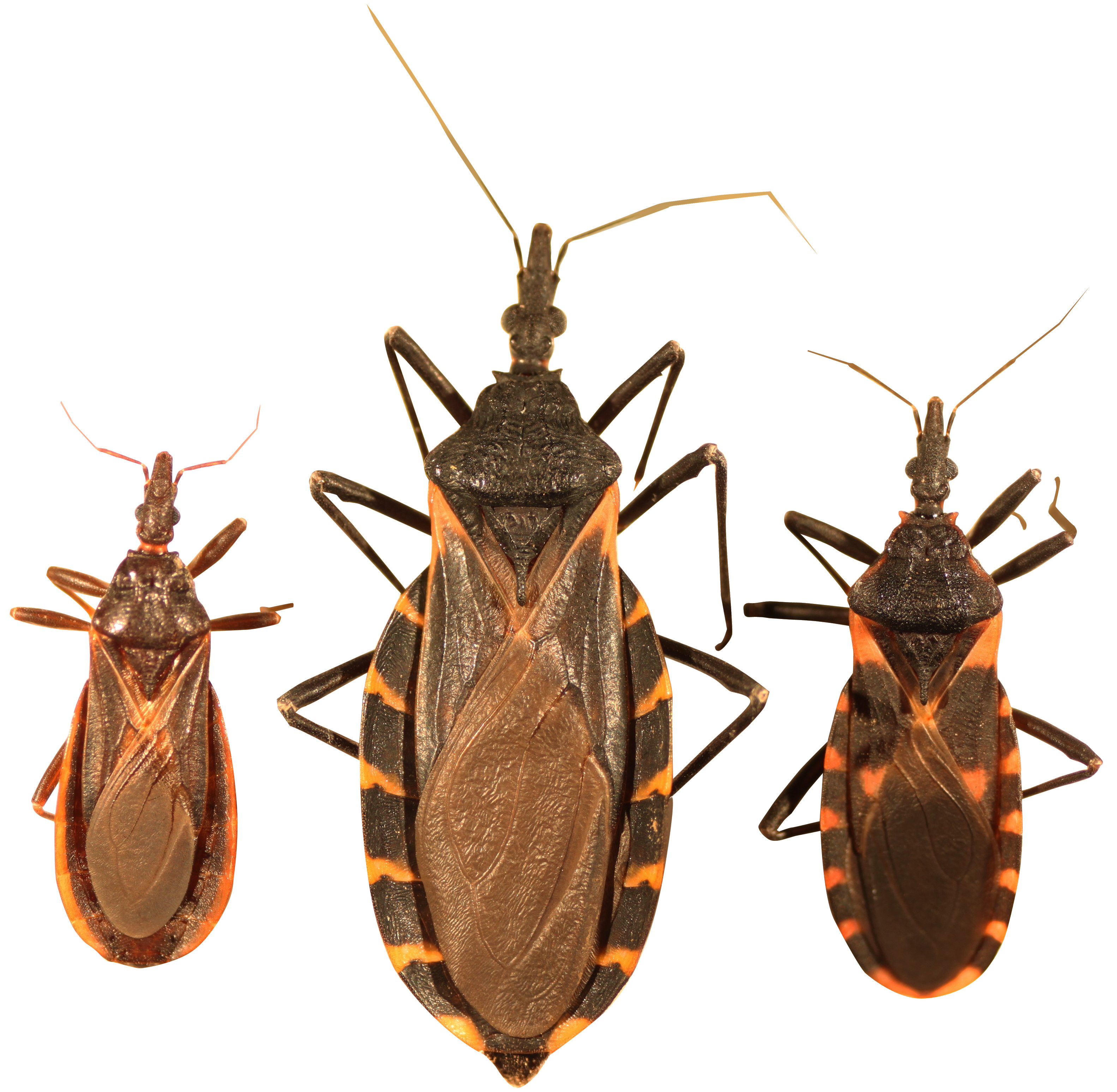 File:three Species Of Kissing Bugs.png - Bugs, Transparent background PNG HD thumbnail
