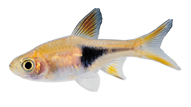 Fish PNG HD