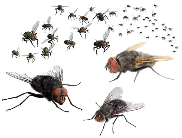 Flies PNG