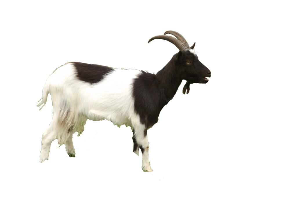 Goat Free Download Png Png Image - Goat, Transparent background PNG HD thumbnail