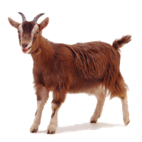 Goat Free Png Image Png Image - Goat, Transparent background PNG HD thumbnail