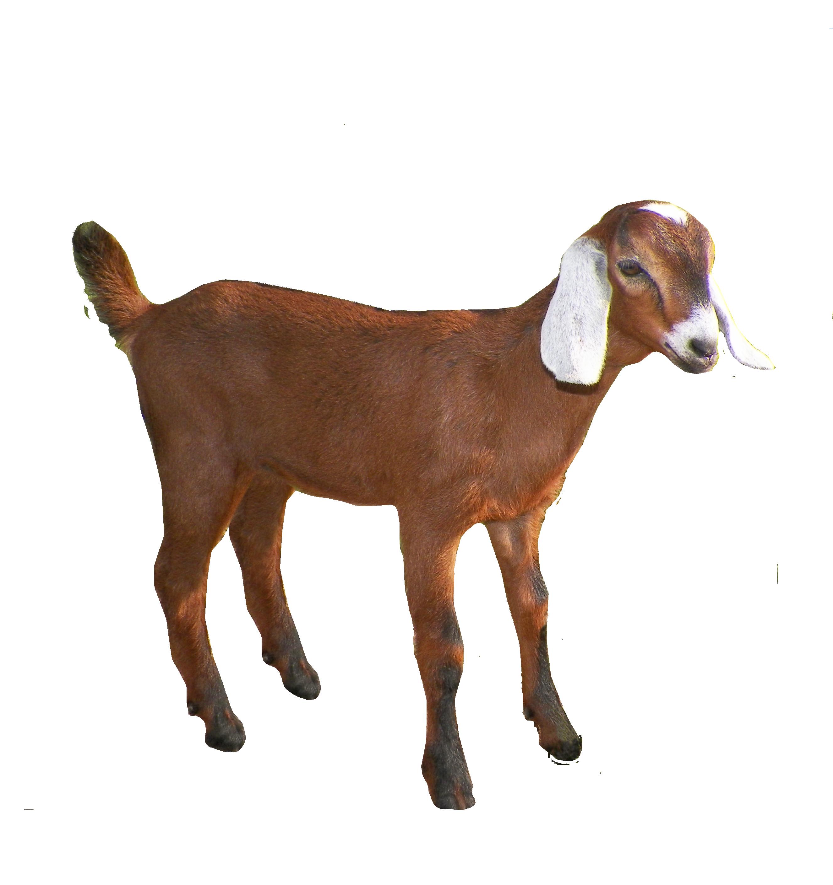 Goat Png - Goat, Transparent background PNG HD thumbnail