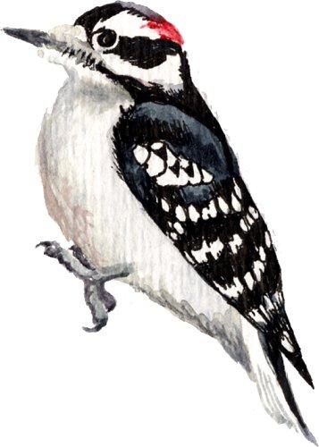 Genomic - Woodpecker, Transparent background PNG HD thumbnail