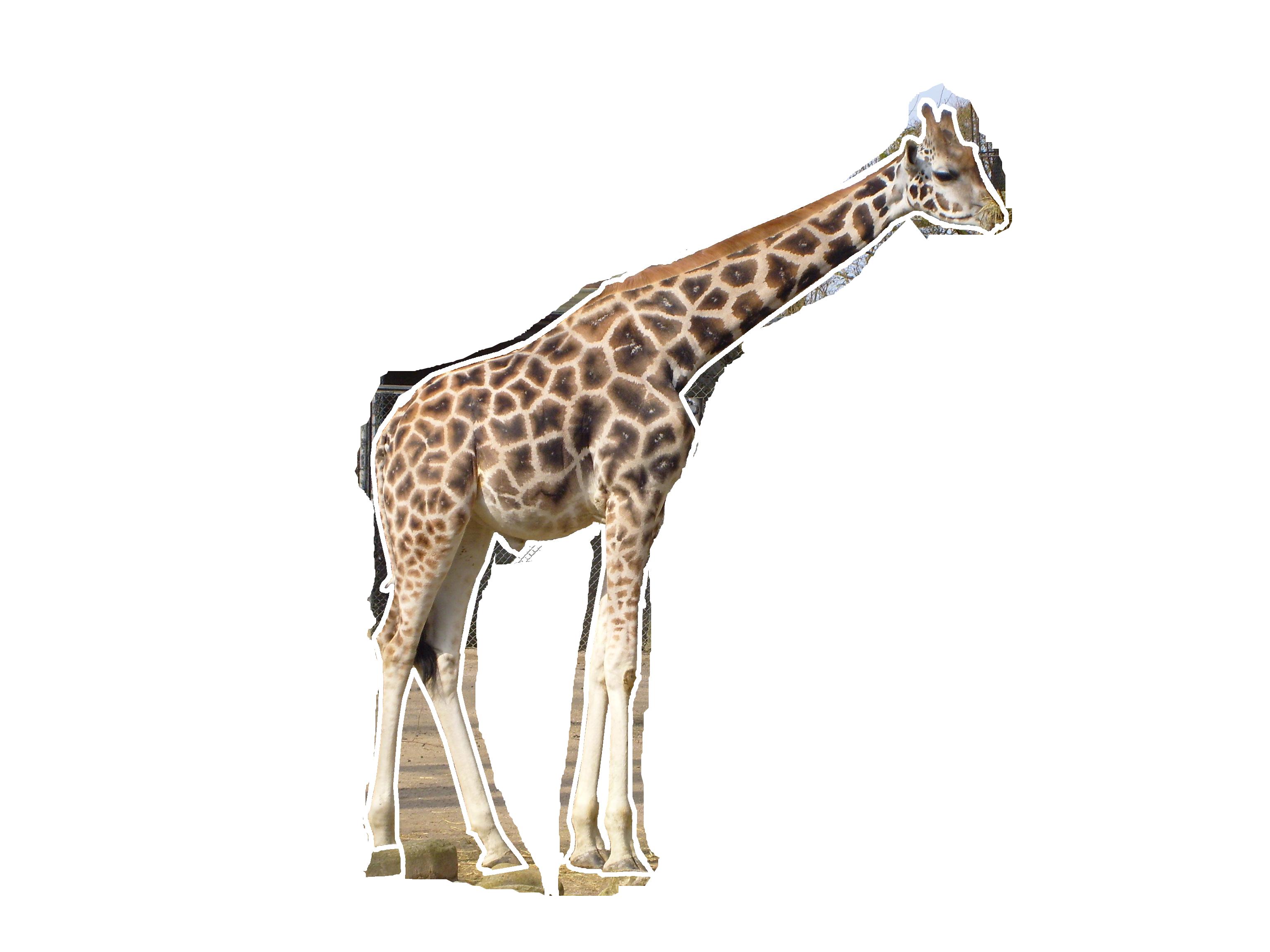 Giraffe HD PNG