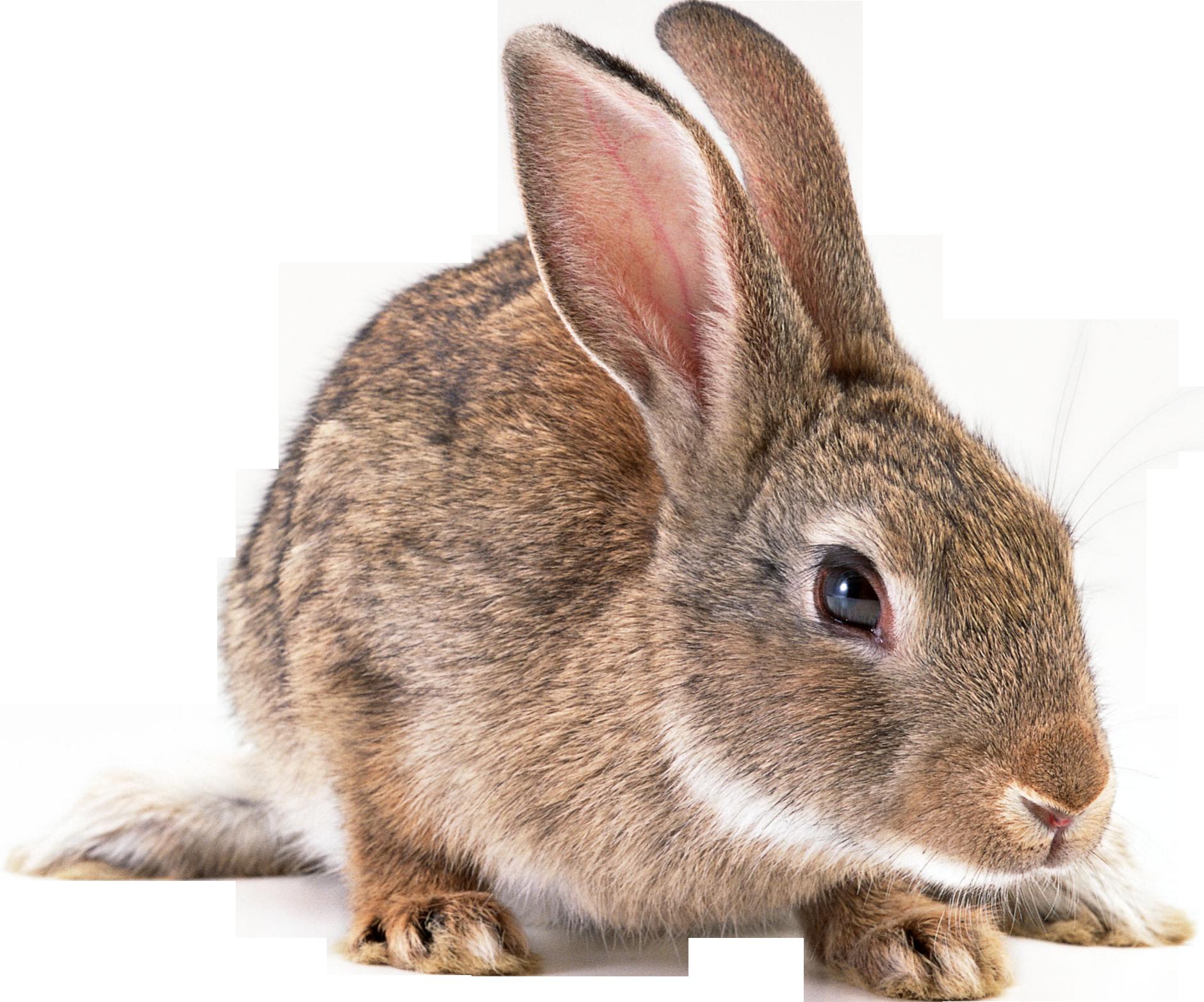 Gray Rabbit Png Image - Rabbit, Transparent background PNG HD thumbnail