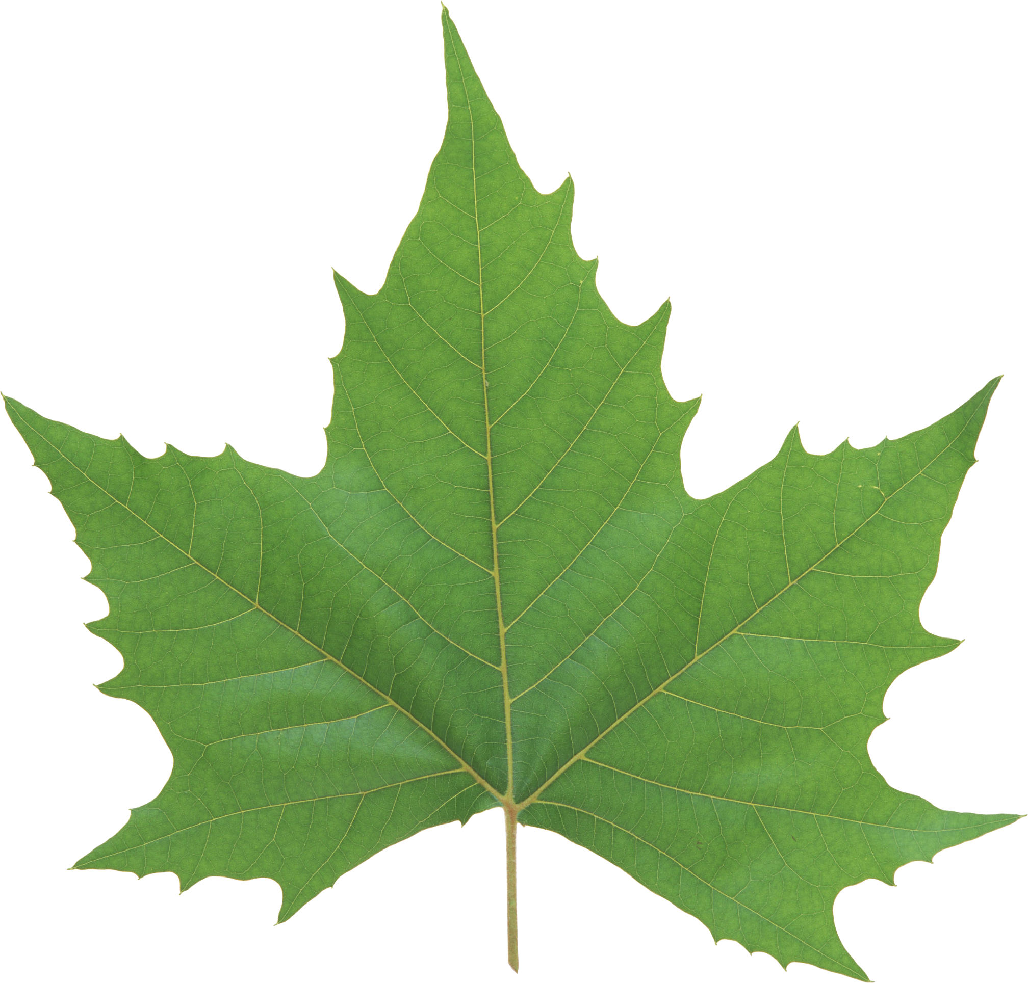 Green Leaf Png - Leaves, Transparent background PNG HD thumbnail