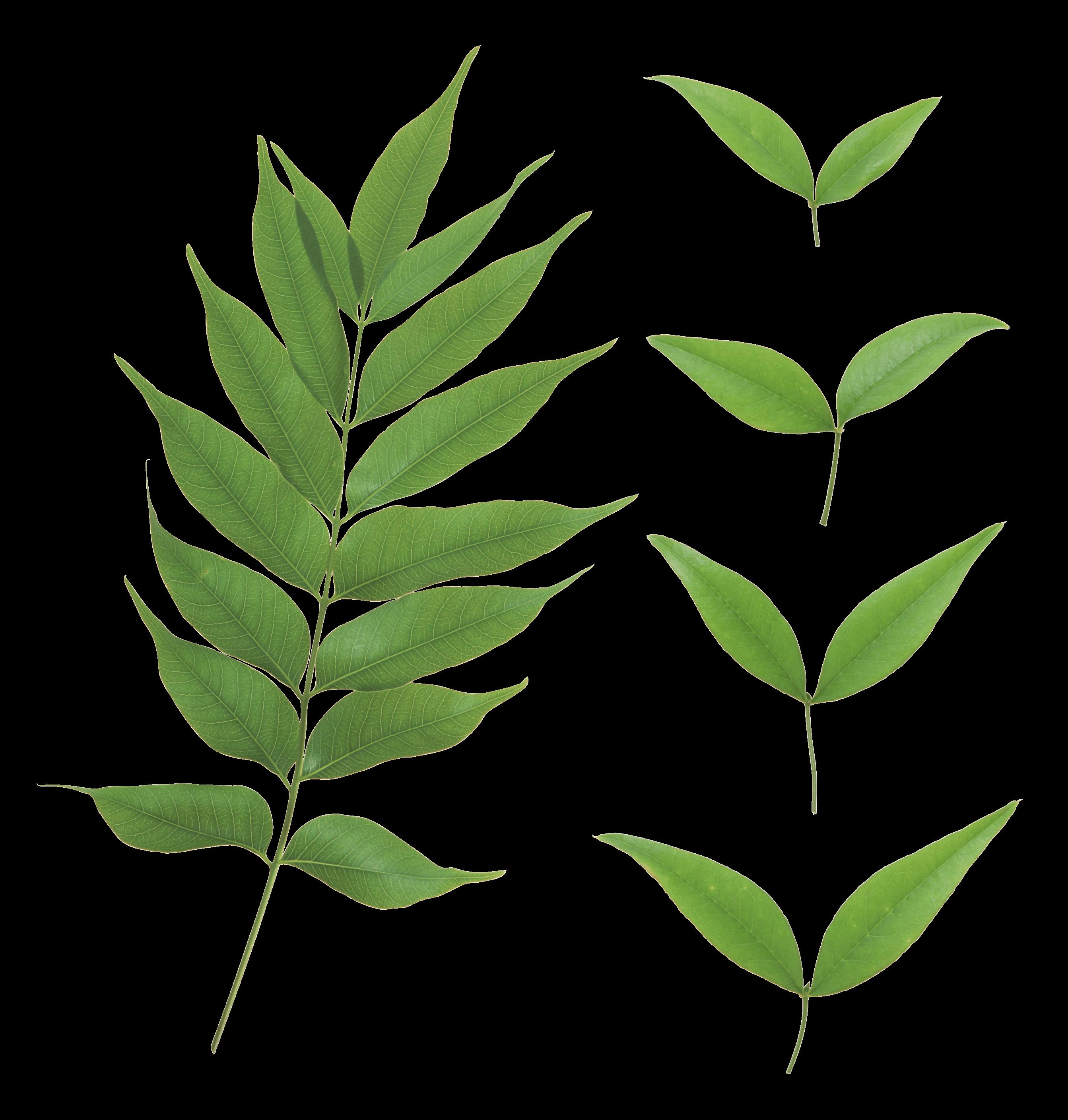 Green Leaf Png Png Image - Leaves, Transparent background PNG HD thumbnail