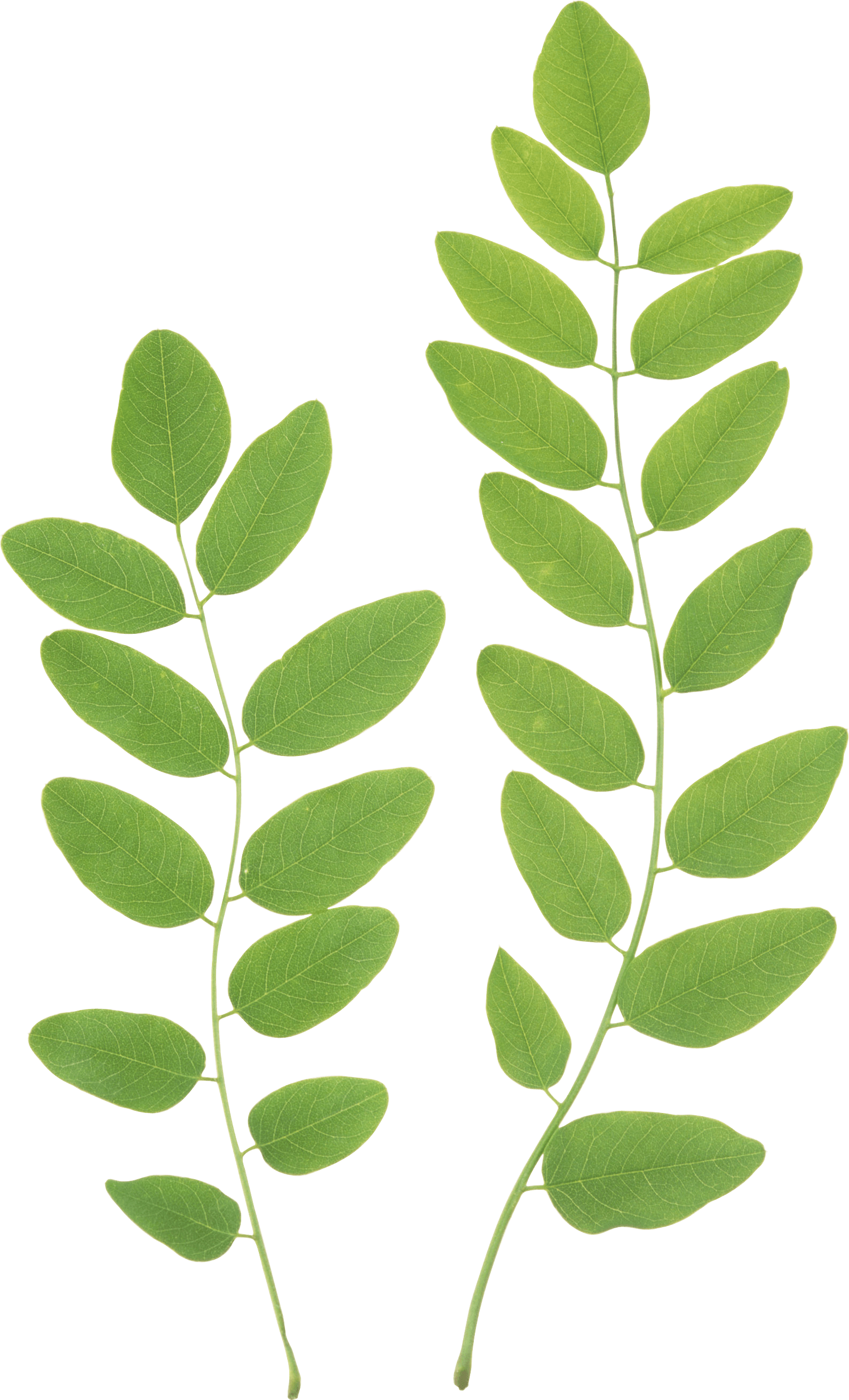 Green Leaves Png Clipart - Leaves, Transparent background PNG HD thumbnail