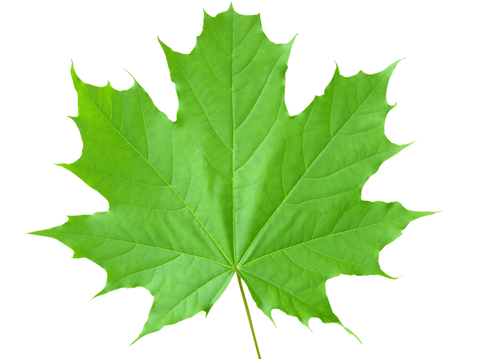 Green Leaves Png File - Leaves, Transparent background PNG HD thumbnail