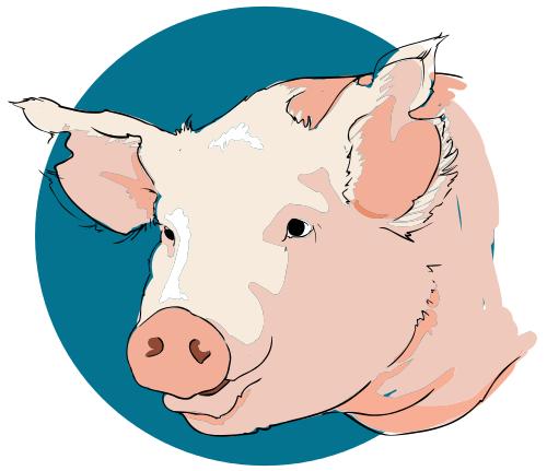 Free Pig Head Clipart - Hog Head, Transparent background PNG HD thumbnail