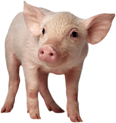 Pig Png Image - Hog Head, Transparent background PNG HD thumbnail