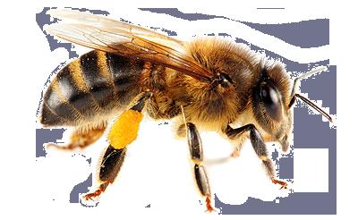 Honey Bee PNG HD