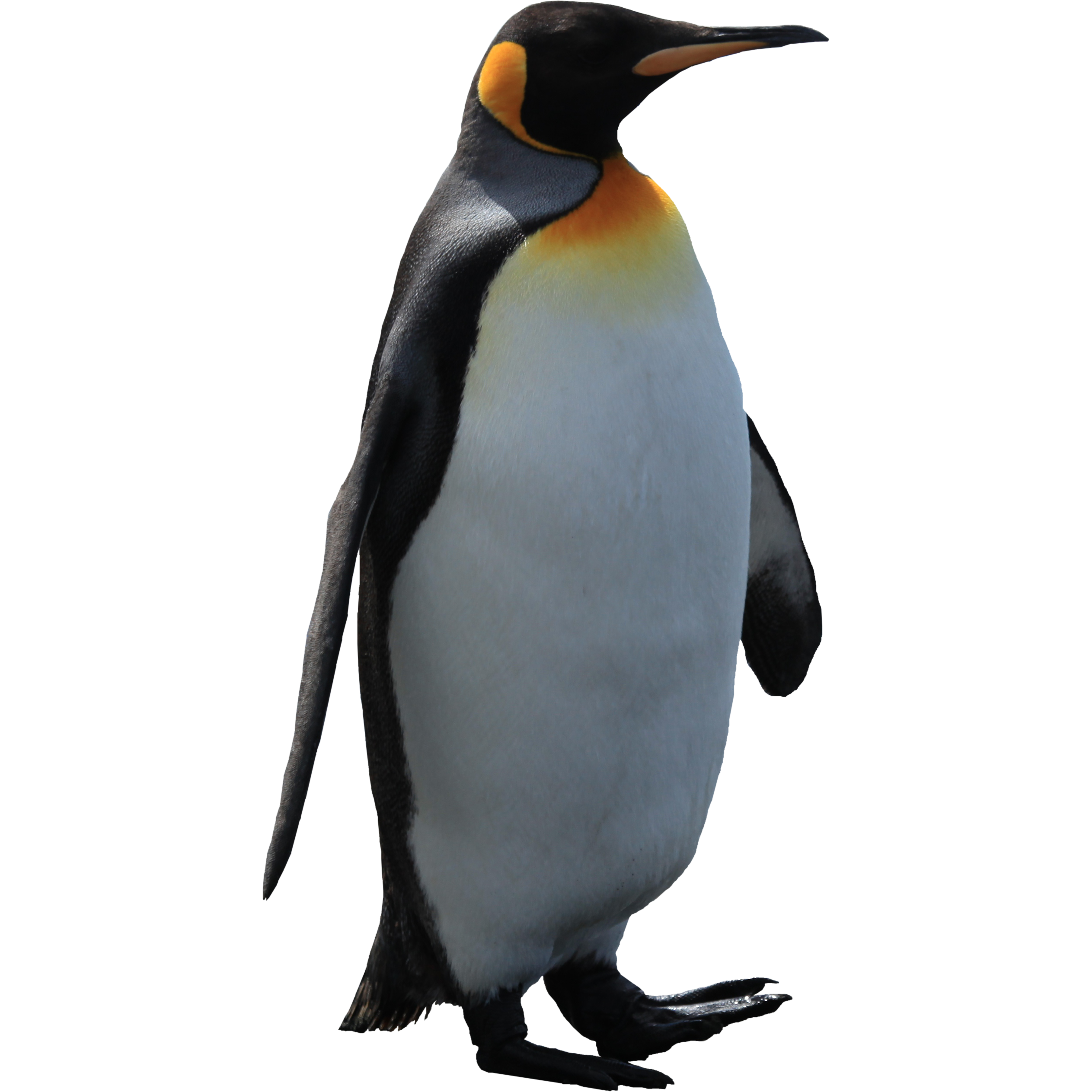 Imperator Penguin Png Image - Penguin, Transparent background PNG HD thumbnail