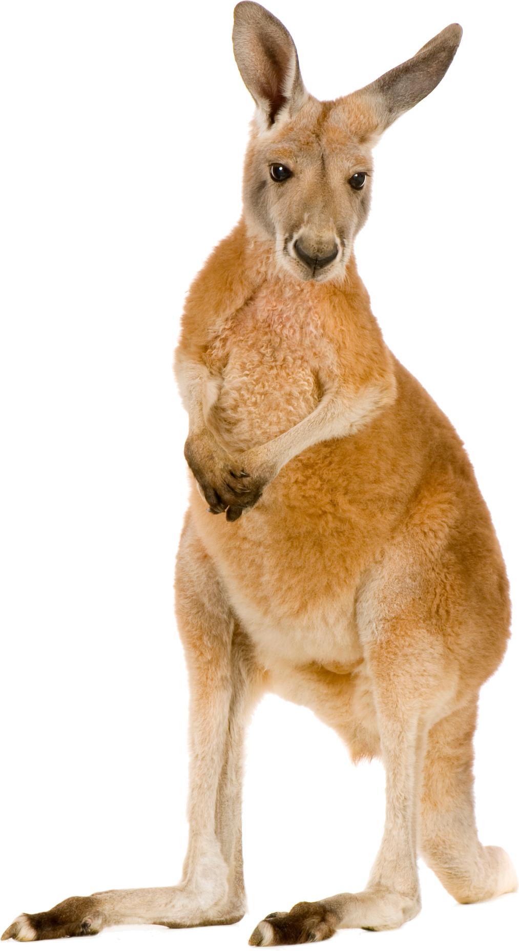 Kangaroo PNG