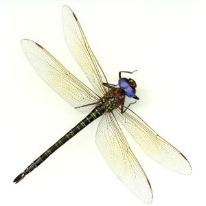 Live Search De Imagens: Dragonfly - Dragonfly, Transparent background PNG HD thumbnail