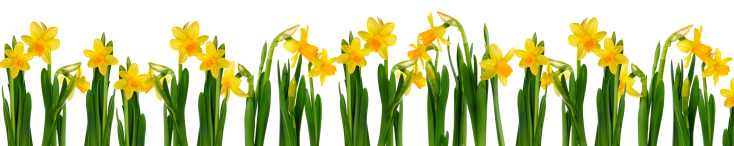 Lots Of Daffodils - Daffodils, Transparent background PNG HD thumbnail