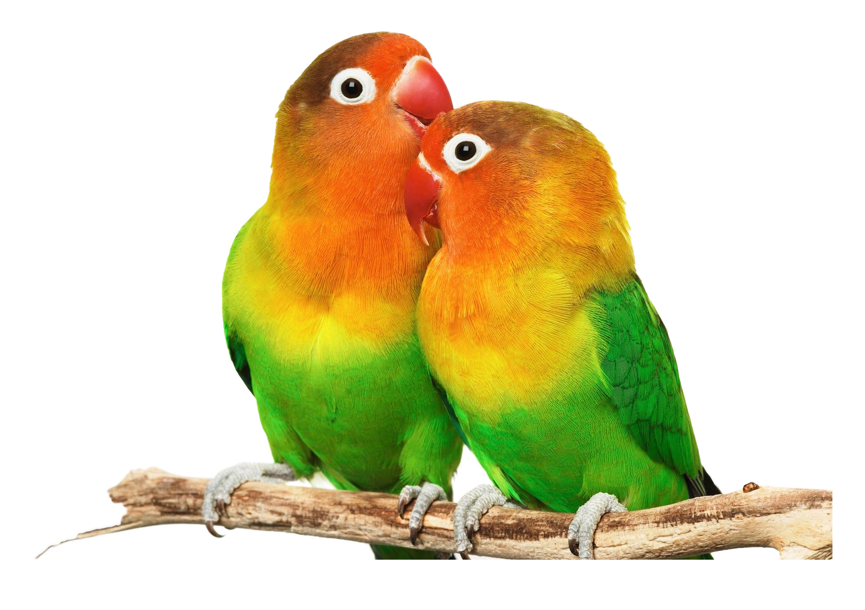 Lovebird PNG HD