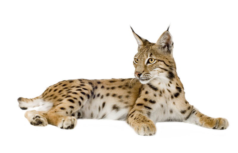 Lynx PNG