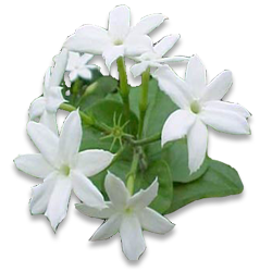 Mogra Flower Png - Mogra Flower Png Hdpng.com 250, Transparent background PNG HD thumbnail