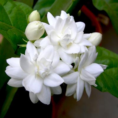 Mogra Flower Png - Free Mogra Plant. Note: Hdpng.com , Transparent background PNG HD thumbnail