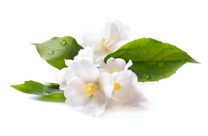 Mogra Flower Png - Jasmine Essence Oil, Transparent background PNG HD thumbnail