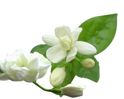 Mogra Flower Png - Jasmine Flower Compound, Transparent background PNG HD thumbnail