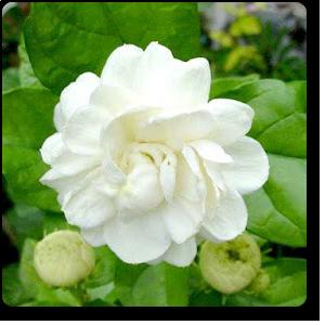 Mogra Flower Png - Largest Online Nursery For Jasminum Sambac, Mogra, Arabian Jasmine   Plant Along With Plants, Transparent background PNG HD thumbnail