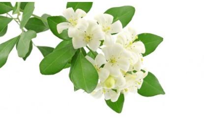 Mogra Flower Png - Mogra, Transparent background PNG HD thumbnail